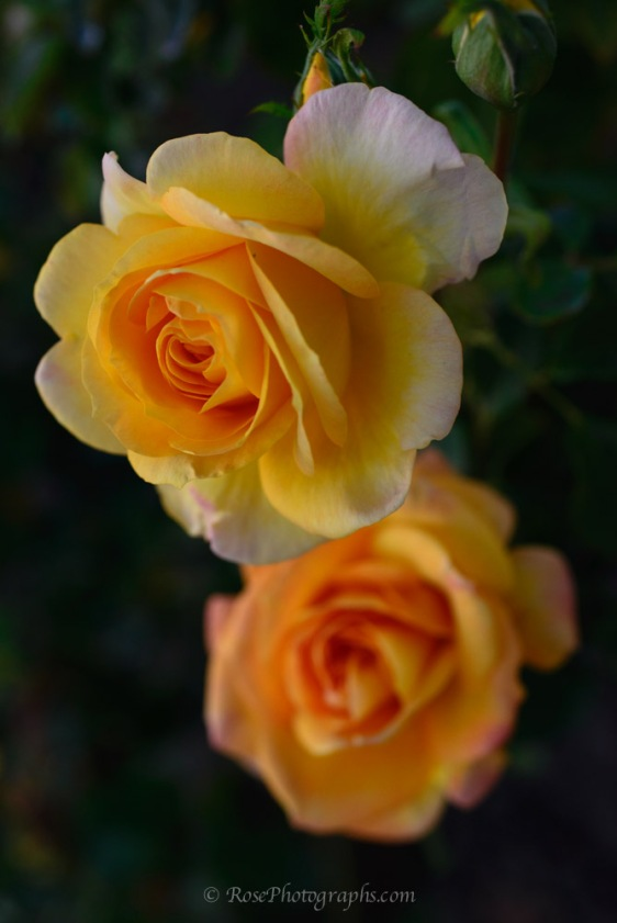 Yellow Orange Rose Photograph