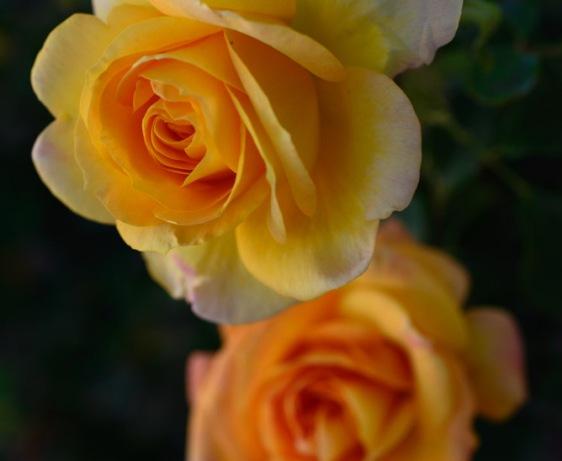 Yellow Orange Rose Photograph